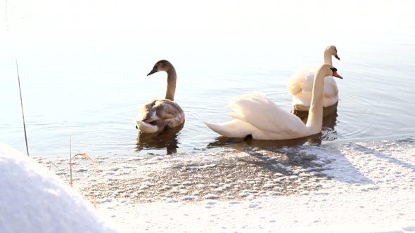 Swimming Swans 2