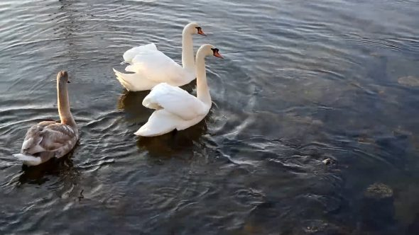 Swimming Swans 4