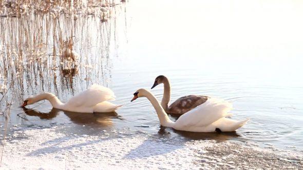 Swimming Swans 3