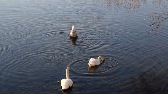 Swimming Swans 6