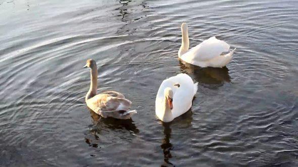Swimming Swans 5