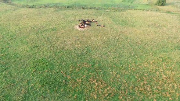 Flight Over Cows In Meadow 2
