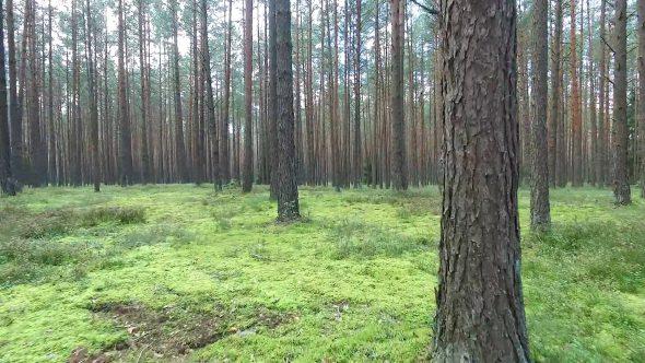 Flight Between Trees In Forest 9