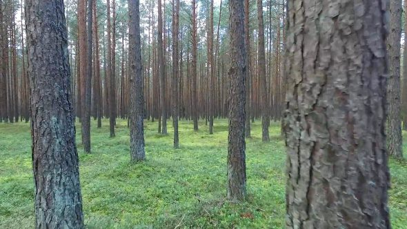 Flight Between Trees In Forest 8